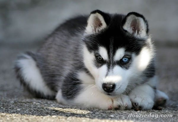 40 Cute Siberian Husky Puppy Pictures 2