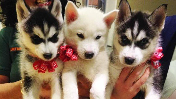 40 Cute Siberian Husky Puppy Pictures 27