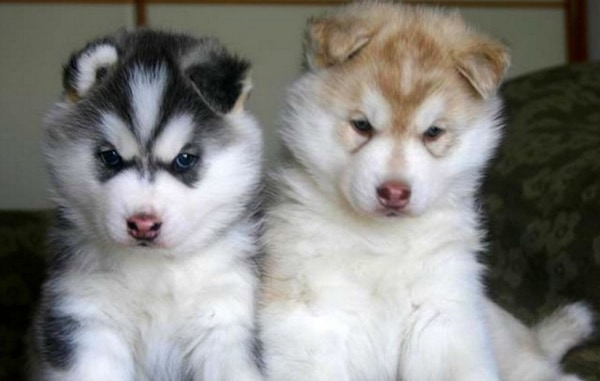 40 Cute Siberian Husky Puppy Pictures 29