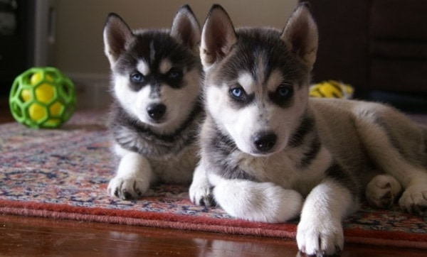 40 Cute Siberian Husky Puppy Pictures 30