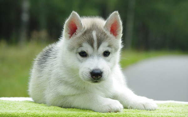 40 Cute Siberian Husky Puppy Pictures 37