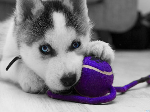 40 Cute Siberian Husky Puppy Pictures 8