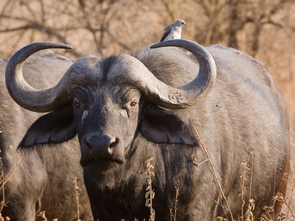 40 Pictures of Bulls with Really Big Horns 15