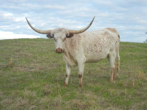 40 Pictures of Bulls with Really Big Horns 23