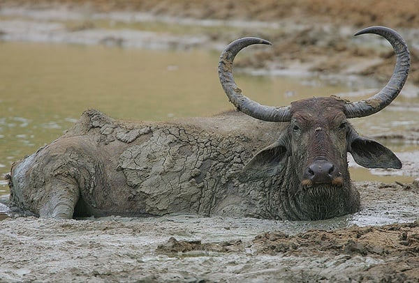 40 Pictures of Bulls with Really Big Horns 32