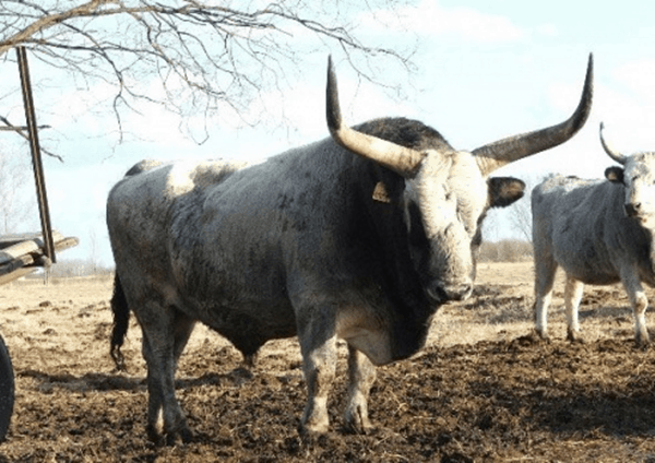 40 Pictures of Bulls with Really Big Horns 37
