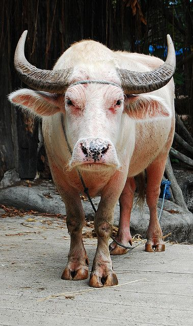 pictures-of-bulls-with-really-big-horns00003