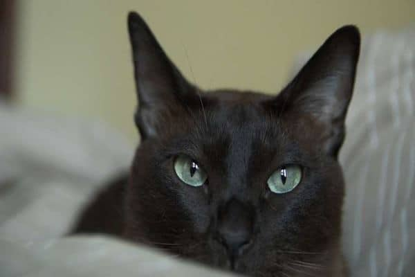 Tonkinese Cats With Dogs