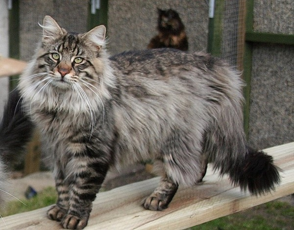 10 Large Cat Breeds in the World 3