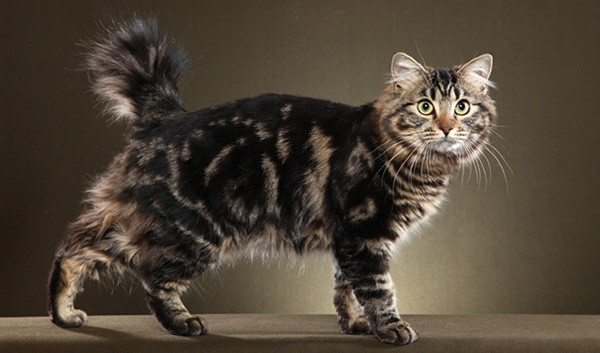 10 Large Cat Breeds in the World 5