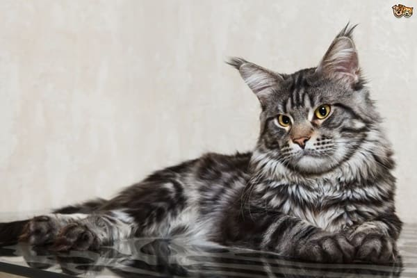 10 Large Cat Breeds in the World 6
