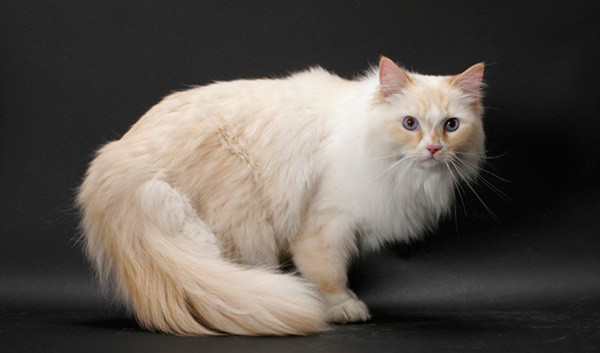10 Large Cat Breeds in the World 8