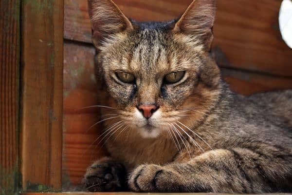 Belize Big Cats List - Five Beautiful Species  |Big Cat Species