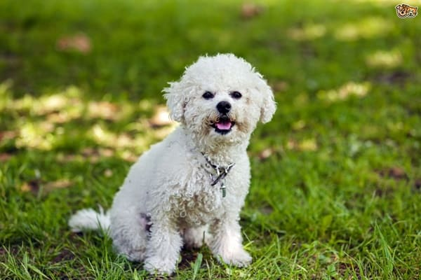 10 List of Hypoallergenic Dog Breeds 2