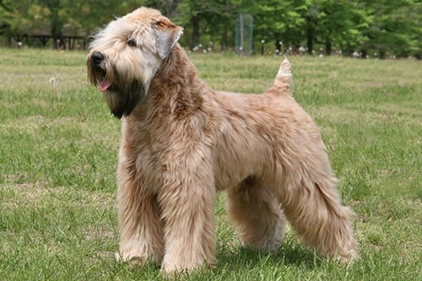 10 List of Hypoallergenic Dog Breeds 7