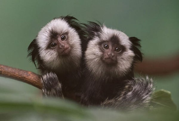 10 Popular Species of Monkeys to Increase your General Knowledge 9