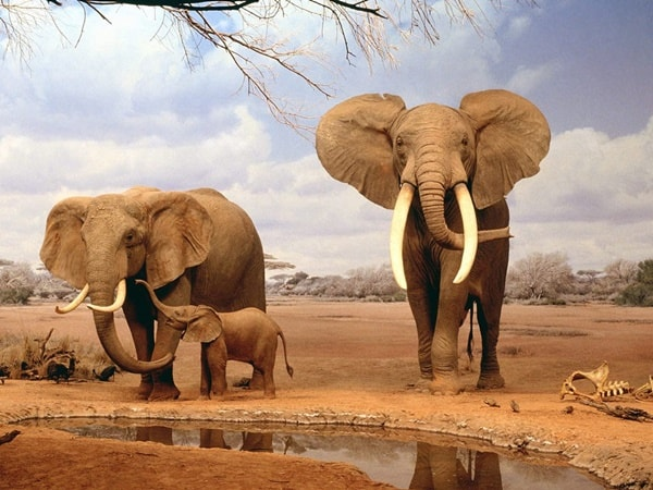 40 Outstanding Pictures of African Elephants 1
