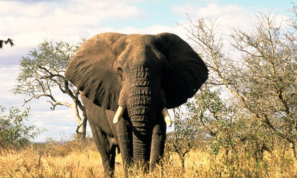 40 Outstanding Pictures of African Elephants 10