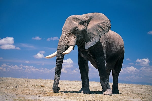40 Outstanding Pictures of African Elephants 12
