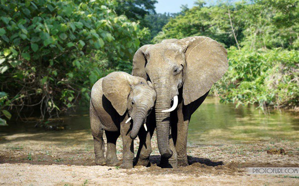 40 Outstanding Pictures of African Elephants 15