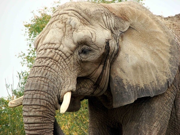 40 Outstanding Pictures of African Elephants 19