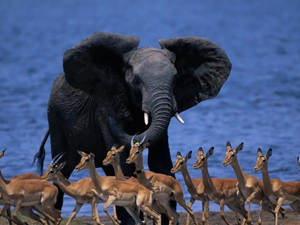 40 Outstanding Pictures of African Elephants 26