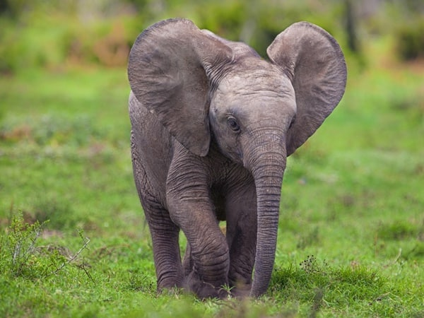 40 Outstanding Pictures of African Elephants 28