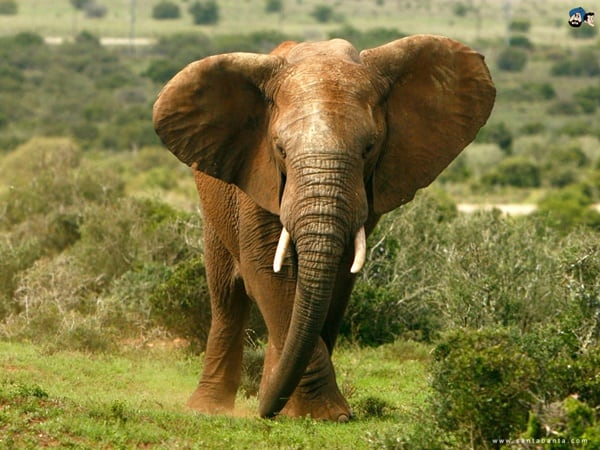 40 Outstanding Pictures of African Elephants 35