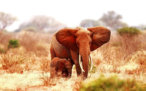 40 Outstanding Pictures of African Elephants 36