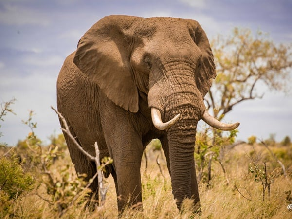 40 Outstanding Pictures of African Elephant - Tail and Fur