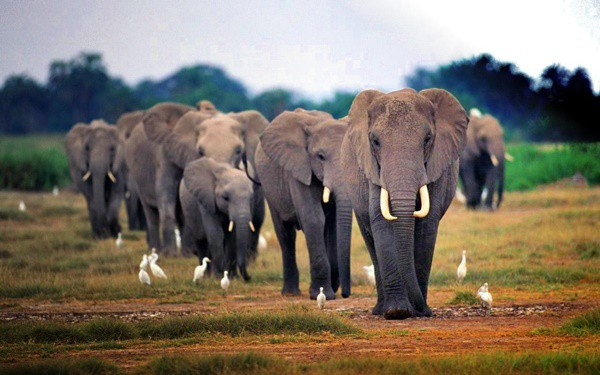 40 Outstanding Pictures of African Elephants 4