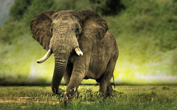 40 Outstanding Pictures of African Elephants 5