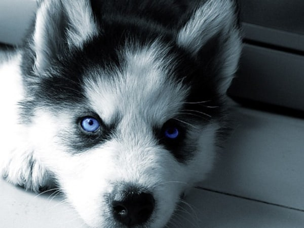 40 Siberian Husky Puppy Pictures to give Watery Eyes 10