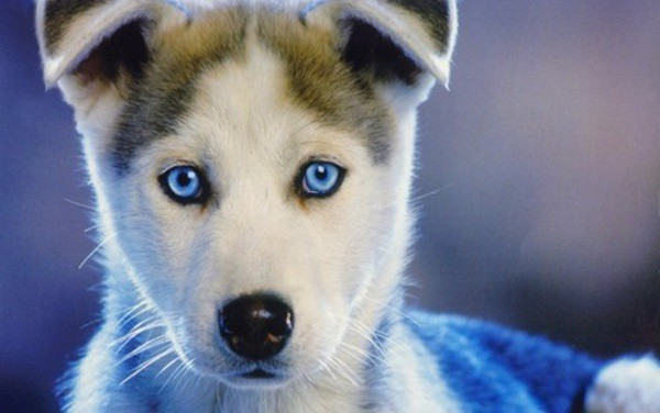 40 Siberian Husky Puppy Pictures to give Watery Eyes 13