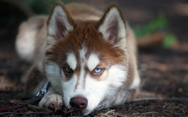 40 Siberian Husky Puppy Pictures to give Watery Eyes 15