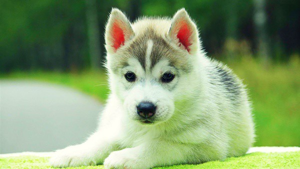 40 Siberian Husky Puppy Pictures to give Watery Eyes 16