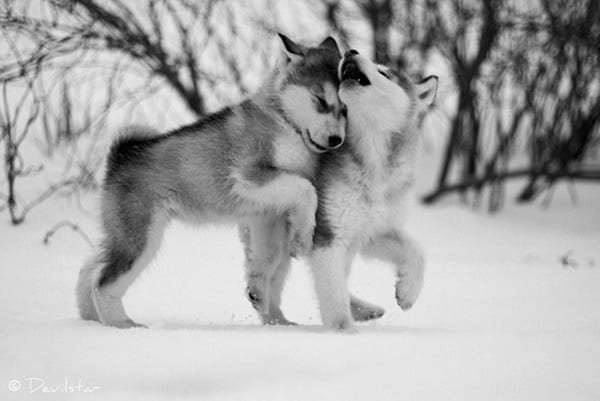 40 Siberian Husky Puppy Pictures to give Watery Eyes 20