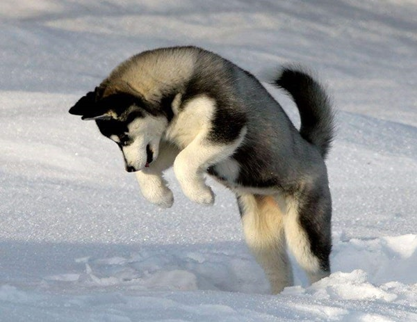 40 Siberian Husky Puppy Pictures to give Watery Eyes 22