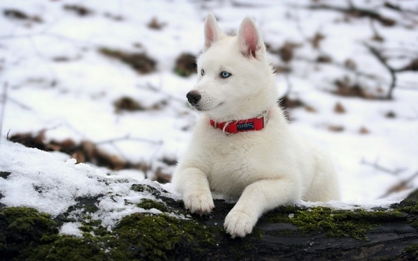 40 Siberian Husky Puppy Pictures to give Watery Eyes 23