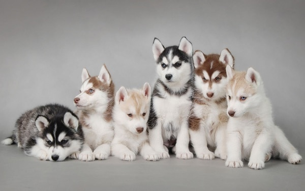 40 Siberian Husky Puppy Pictures to give Watery Eyes 29
