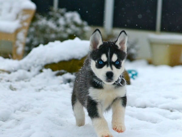 40 Siberian Husky Puppy Pictures to give Watery Eyes 33