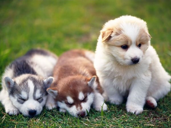 40 Siberian Husky Puppy Pictures to give Watery Eyes 7