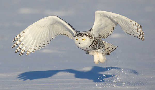 40 Snowy Owl Pictures for the House of Gandalf 1