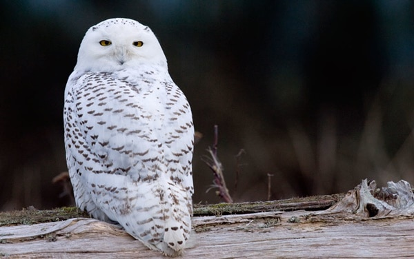 40 Snowy Owl Pictures for the House of Gandalf 12