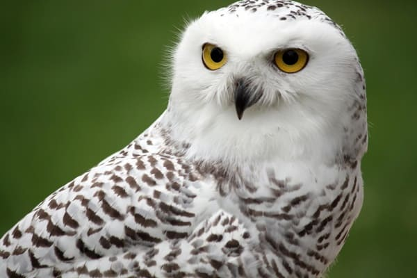40 Snowy Owl Pictures for the House of Gandalf 14