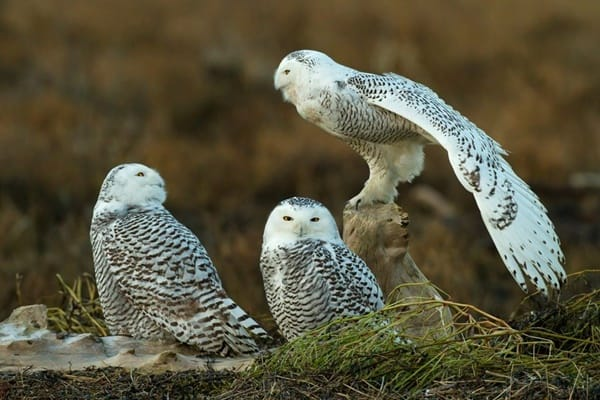 40 Snowy Owl Pictures for the House of Gandalf 15