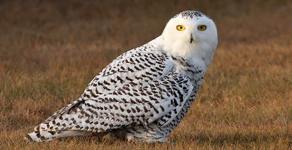 40 Snowy Owl Pictures for the House of Gandalf 16