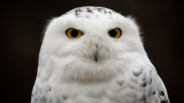 40 Snowy Owl Pictures for the House of Gandalf 2