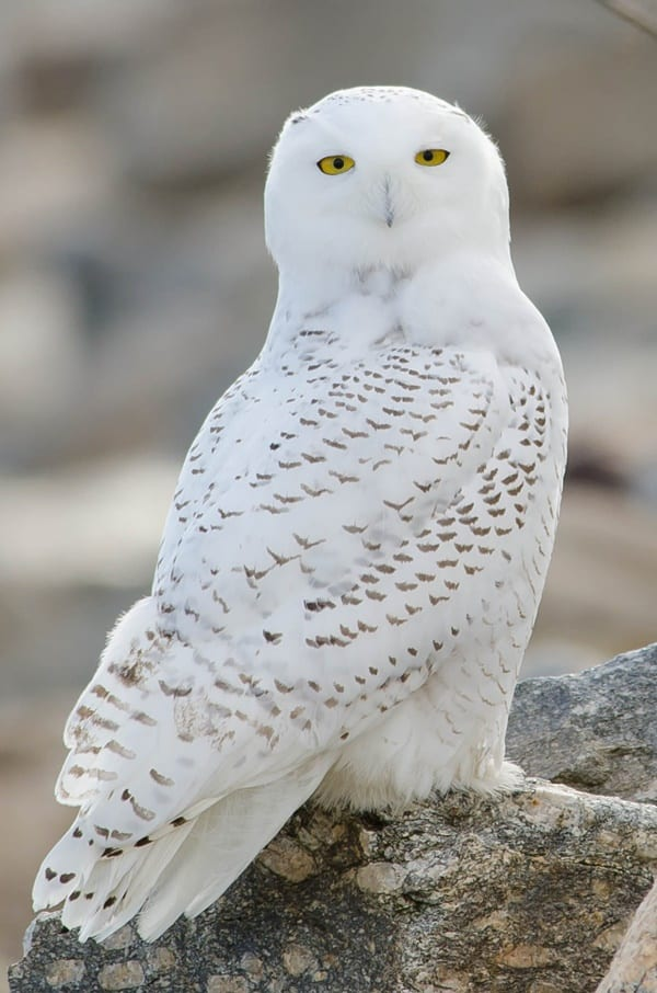 40 Snowy Owl Pictures for the House of Gandalf 22