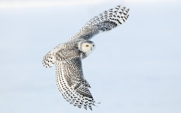 40 Snowy Owl Pictures for the House of Gandalf 27